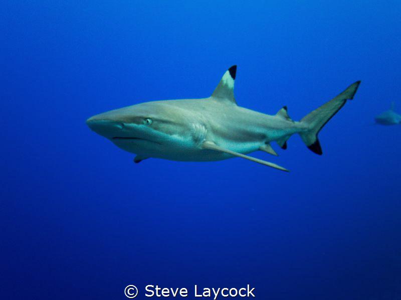 Black  tip reef shark by Steve Laycock