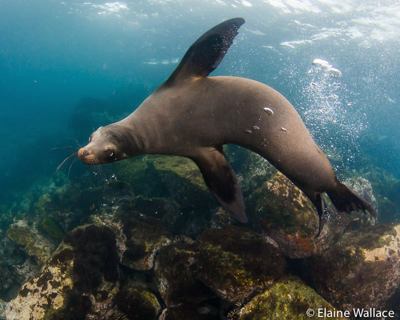 Galapagos sea lion play mate by Elaine Wallace
