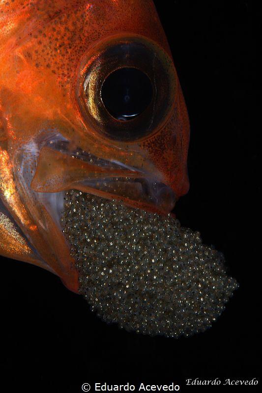 Apogon fish with eggs. by Eduardo Acevedo