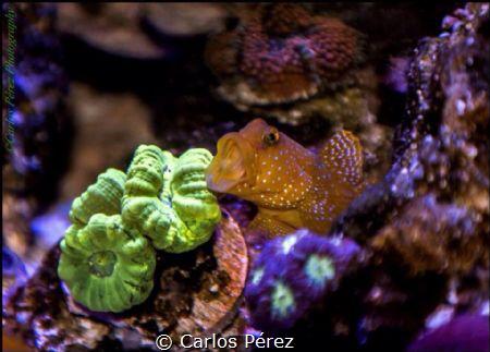 Reef at Home part II; Yellow prawn Goby of las Maldives f... by Carlos Pérez