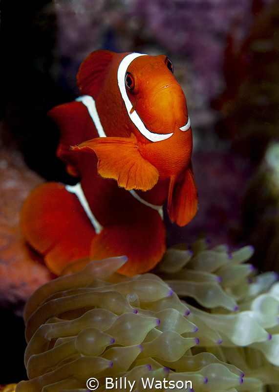 Spinecheek Anemonefish -- Amphiprion biaculatus by Billy Watson