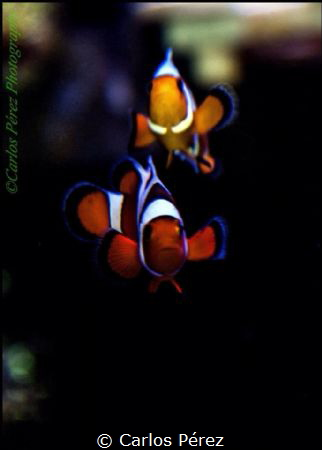 Davinci Tank Raised Clownfish potrait by Carlos Pérez