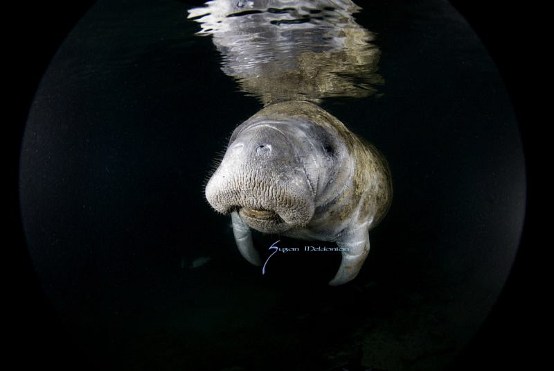 Manatee at the crack of dawn by Suzan Meldonian