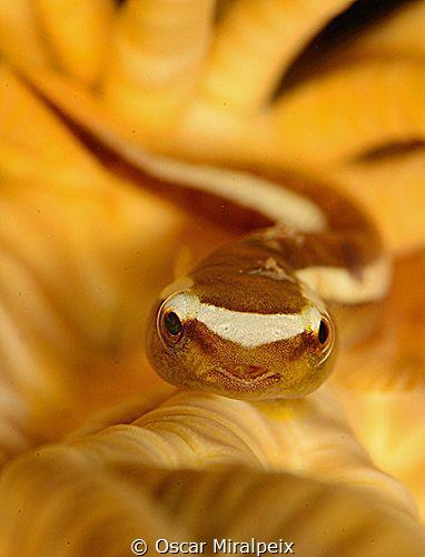clingfish by Oscar Miralpeix