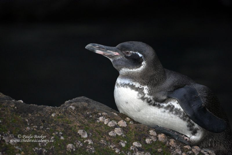 Galapagos Penguin by Paula Booker