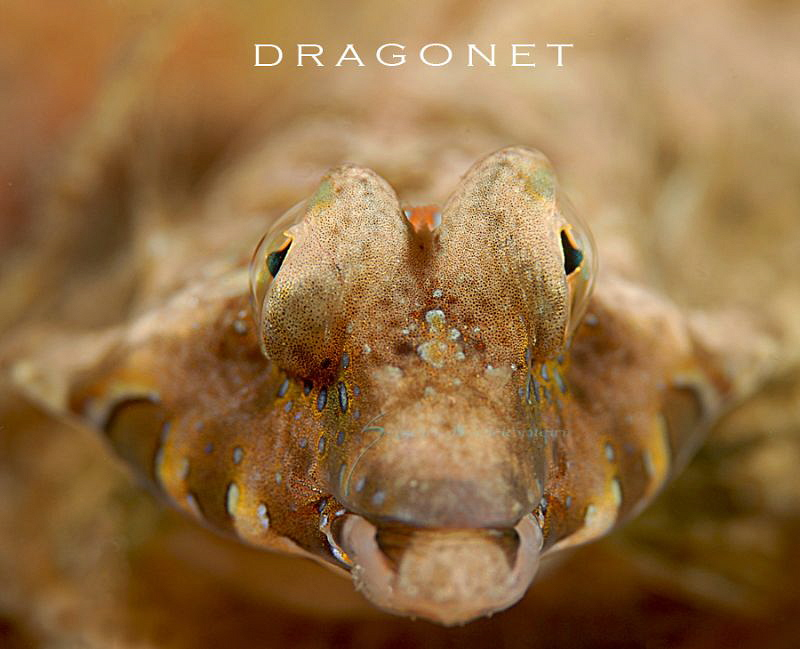 close up of a Lancers Dragonet by Suzan Meldonian