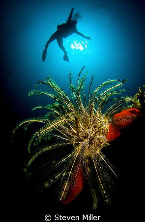Girls just wanna have fun., clowning around with crinoids by Steven Miller