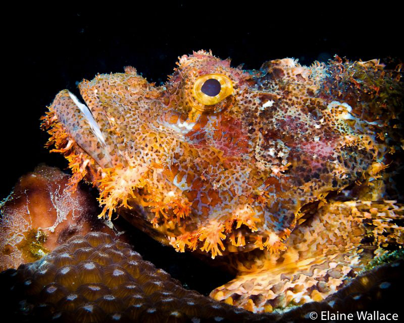 Portrait of a tasselled scorpion fish by Elaine Wallace
