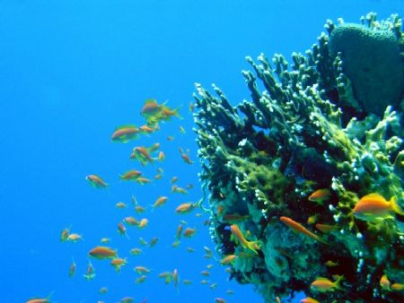anthias and net fire coral Egypt, Red Sea by Gordana Zdjelar