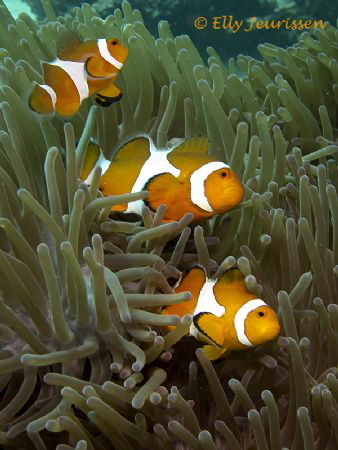 A happy trio of Nemos @ Malapascua, Philippines 2013 Can... by Elly Jeurissen