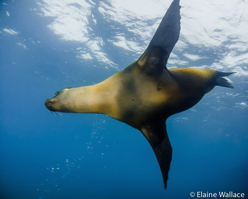 Galapagos sea lion flying overhead by Elaine Wallace