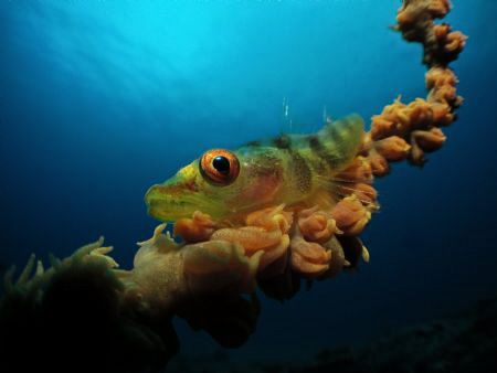 Whip Coral Goby taken with a Canon S95 in Recsea Housing ... by Jenny Strömvoll