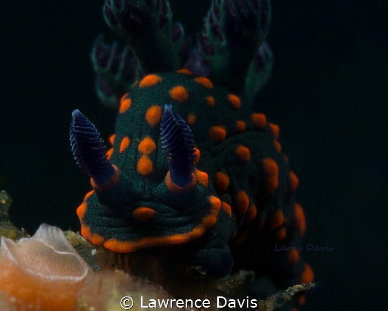 Beautiful Nudi by Lawrence Davis
