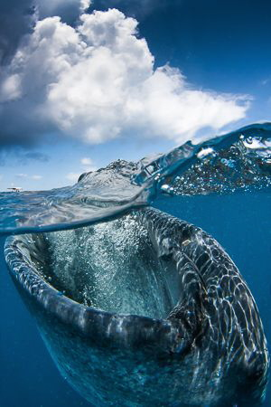 Whaleshark Over/Under by Steven Miller