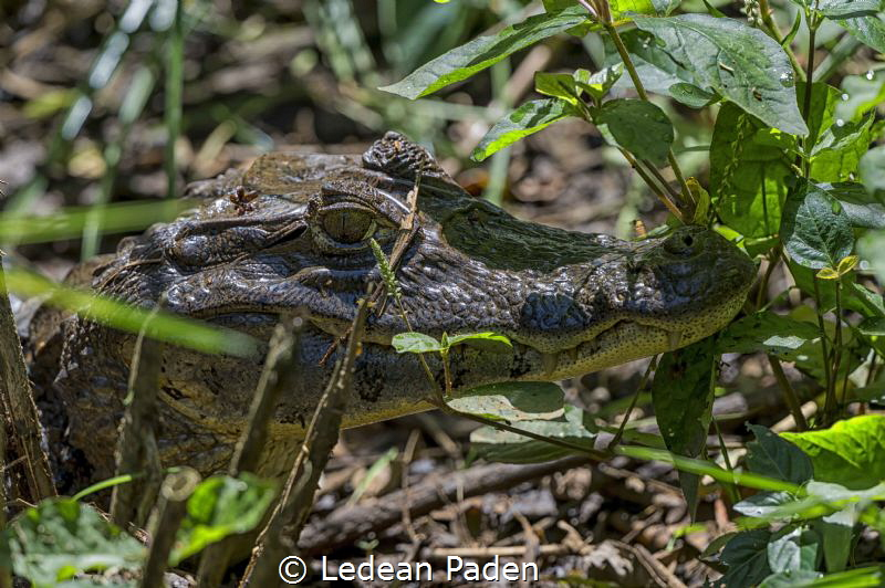 Hunting for Turtles and their eggs Tortuguero National P... by Ledean Paden