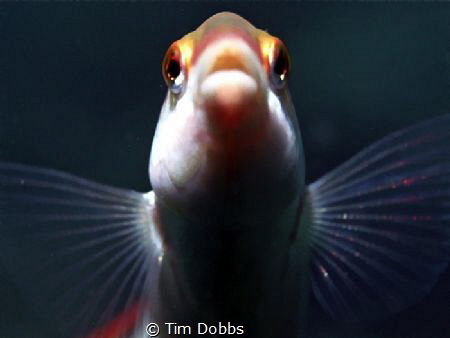 Close up of a Wrasse. I had to wait patiently for this sh... by Tim Dobbs