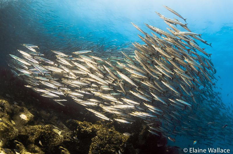 The enormous barracuda school at Darwin that seemed to go... by Elaine Wallace
