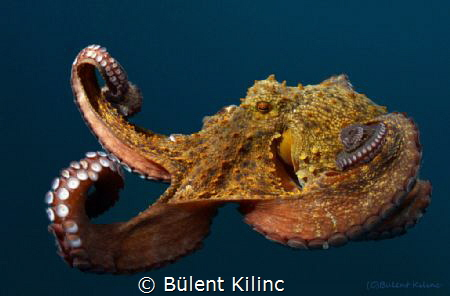 Octapus by Bülent Kılınc