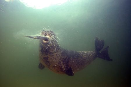 Harbour Seal. This guy just caught one unlucky fish, this... by Grant Kennedy