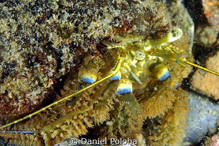 Hermit crab Pagurus novaezelandiae by Daniel Poloha