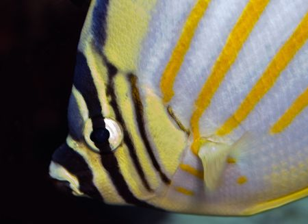 Ornate Butterflyfish Nikon D70, 105mm, DS-125 substrobe by James Kashner