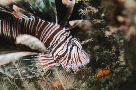 Lionfish. Bahamas. They are becoming an increasing proble... by Jacques Miller