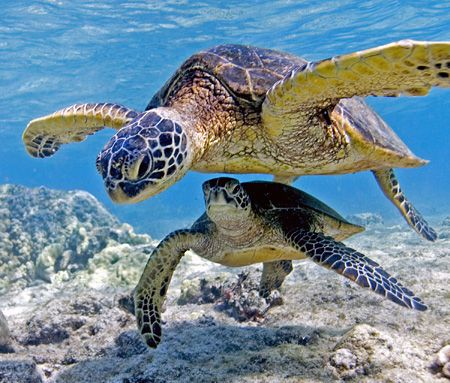 Sea Turtles At Play