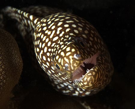Tiny Moray Eel peering out from the darkness, 60mm, Hawaii by James Kashner