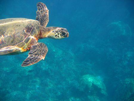 Green Sea Turtle, Olawalu, Maui, HI by Lee Howard