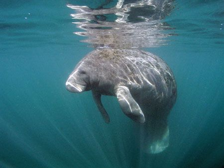 Manatee at Crystal River Florida. Camera Olympus C5050, I... by Ray Eccleston