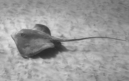 Stingray shot this weekend at Kahe Point - West side of O... by Glenn Poulain