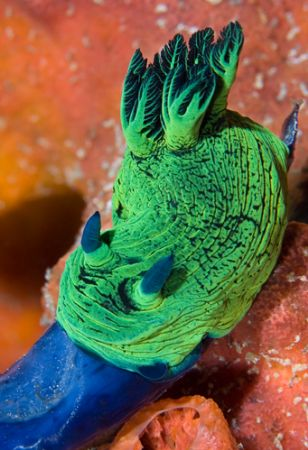 Miller's Nembrotha nudibranch snacking on one of its favo... by Erin Quigley