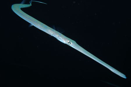 Smooth Cornetfish - Elphinstone by Dave Reid