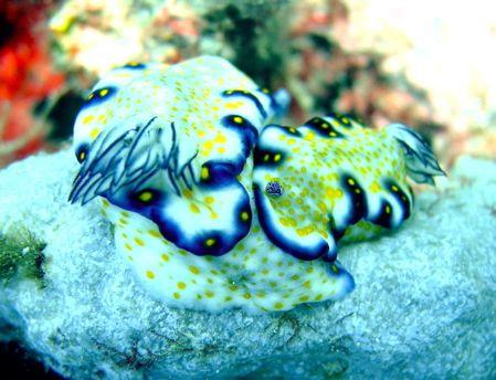 nudibranchs, outside kewalo basin, oahu, hawaii by Elizabeth Chase