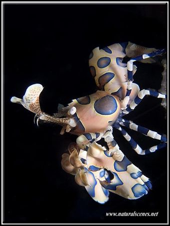I was very lucky when I saw this harlequin shrimp climbin... by Erika Antoniazzo