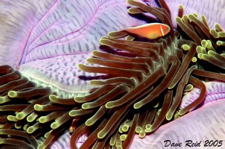 Orange Anemonefish by Dave Reid