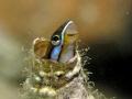 A shy mimic fangblenny (combtooth blenny) inside an empty worm hole
