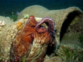 Reef octopus cleaning itself with its tentacle like a cat