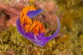 The eyes have it.  A ubiquitous Spanish shawl nudibranch on the reef at Anacapa Island. Shot with Canon T4i an 100mm f/2.8 macro in Ikelite housing with dual DS51 strobes.