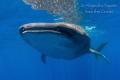 Whale Shark encounter, Isla Contoy Mexico