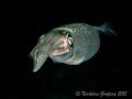 Reef Squid (Sepioteuthis sepioidea) at Blue Heron Bridge