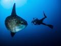 Epic ... ! Southern Ocean Sunfish - Mola ramsayi. Mimpang, Bali, Indonisia