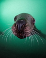 'Whiskers'- A Steller sea lion comes in for a closer look off the coast of Vancouver Island in British Columbia, Canada.