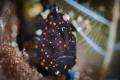 I . A M . P A I N T E D Juvenile painted frogfish (Antennarius pictus) Tulamben, Indonesia. July 2015