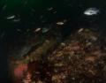 Rockfish etc. in Monterey