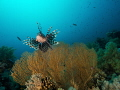 Lionfish with gorgonian