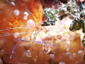 Pederson Cleaner Shrimp on Mikes Reef in the Bahamas. The translucent body makes it hard to photograph and even see.