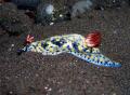 nudibranch , Tulamben, Bali, Olympus C 5060