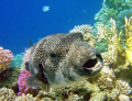 Large Puffer fish with big teeth!