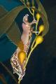 california kelp slug